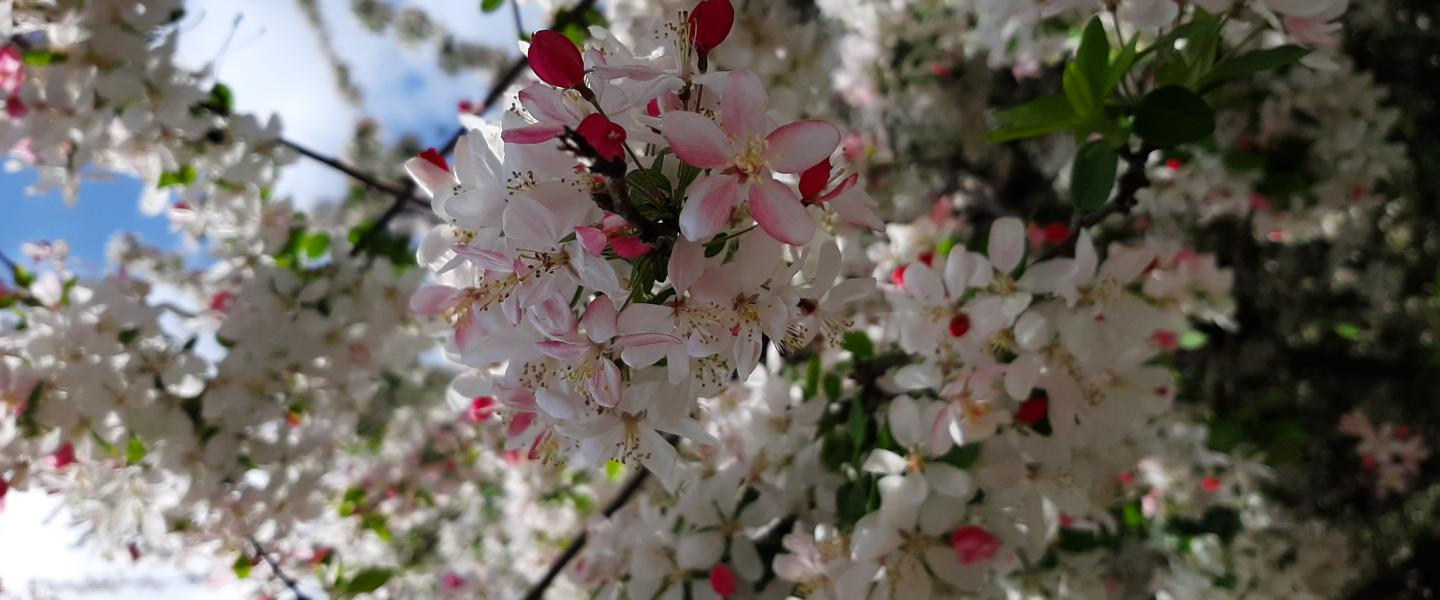white and pink tree blossoms