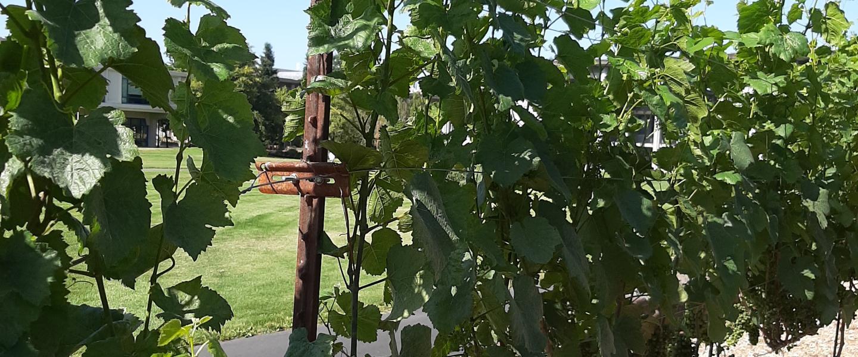 Grape Vines on campus